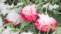 * Rose ghiacciate * Frozen roses * (argia world 1) Tags: autunno autumn rose roses neve snow neveghiacciata frozensnow giardino garden macroterreno ground fiore flower
