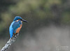 All weather fishing (mikedenton19) Tags: kingfisher male alcedo atthis alcedoatthis bird nature wildlife water river scotland kirkcudbright alanmcfadyen kingfisherhide fish catch fishing commonkingfisher