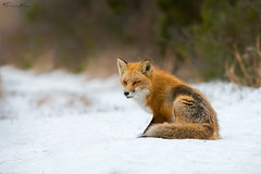 The foxy look (Khurram Khan...) Tags: redfox snow wild wildlife wildlifephotography wwwkhurramkhanphotocom khurramkhan iamnikon nikonnofilter mammals naturephotography naturephotos orange yyyyy sxdvkl