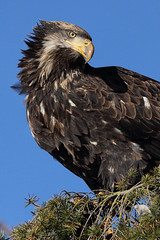 This Is My Good Side (PamsWildImages) Tags: baldeagle bc bird raptor canada canon 5dmarkiii nature naturephotographer wildlife wildlifephotographer