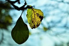 sunny day (andreea_mihailiuc) Tags: macro nikon nikond3200 nikonphotography focus 40mmf28 40mm day light sun sunny green yellow background depthoffield andreeamihailiuc auntum tree
