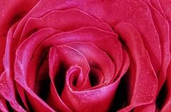 Glittery Red Rose, using my Macro tubes🌷👍 (leannehall3) Tags: rose red glitter rosepetal petals closeup closeupphotography macrotubes macro canon 1300d flowerarebeautiful flowersarefabulous flowerflowerflower