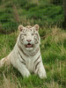P4275410 (garrygeezer) Tags: whitetiger carnivore predator nature hamerton garrychisholm