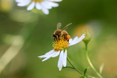 Those with lovely eyes...Where have they gone? (keiko*has) Tags: 7dwf sunday fauna honeybee daisy