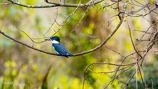 Kingfisher 001