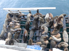 SEALS (kelsey61) Tags: seal seals pacificocean wood ocean pier wharf california santacruz