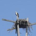 Osprey and nest. thumbnail