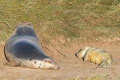 a JON_7993 (bajandiver) Tags: seals pups breading season donna nook bajandiver