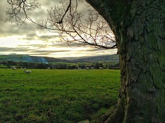 The Aire Valley (tubblesnap) Tags: sheep brunthwaite silsden aire scenery valley tree