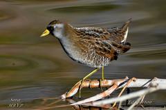 Sora (Edhorton) Tags: henderson bird viewing preserve las vegas nevada wildlife birds hawk sora