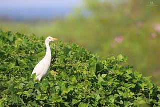 Cattle egret - Héron garde-bœufs - Bubulcus ibis