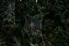 A touch of frost (doloreshooijschuur) Tags: nikond3300 nikon netherlands holland limburg arcen plant hedge bevroren spinnenweb cold white green water frost frozen cobweb spiderweb spidersweb