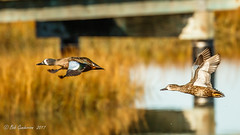 Blue-winged Teal - in flight (Bob Gunderson) Tags: alamedacounty anasdiscors arrowheadmarsh birds bluewingedteal california dabblingducks ducks eastbay northerncalifornia teal