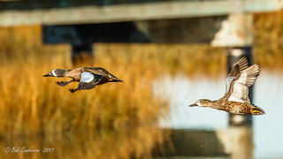 Blue-winged Teal - in flight
