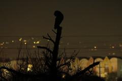 Barn Owl night watch (stonebird) Tags: barnowl tytoalba ballonawetlandsecologicalreserve areab december stonebird img9730 owl