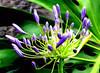 Agapanthus (Dennisbon) Tags: dennisbon canon eos 7d melbourne australia agapanthus flower velvet purple backyard closeuo macro bloom nopeople