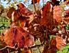 Borjon Winery, vines, grapes, leaves, vineyards, (David McSpadden) Tags: borjonwinery grapes leaves vines vineyards