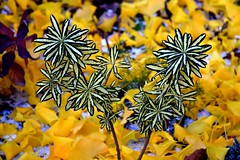 Still Some Green Showing on this Unusual Plant, after Frost, Light Snowfall and Falling Leaves (Joseph Hollick) Tags: autumn leaves