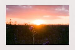 Dusk in Sarthe, France (spotfer) Tags: sarthe france campaign fujix photographie photography contrast frame art flower flowers clouds sky nature landscape paysage dusk color colors fujifilm potfersebastien