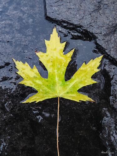Maple Leaf - Feuille d'érable