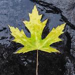 Maple Leaf - Feuille d'érable thumbnail