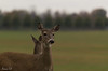 Hi there. . . (Irina1010_out for sometime) Tags: deer animal mammal pasture berry nature canon