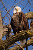Bald Eagle Stare Down (Wes Gibson) Tags: americanbaldeagle mississippiriver lockanddam14 tree river bird leclaire geographicfeatures iowa