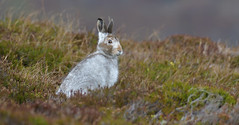Let it snow, let it snow, let it snow (KHR Images) Tags: mountainhare mountain hare lepustimidus wild mammal scottish highlands findhornvalley native species winter pellage scotland nature wildlife nikon d500 kevinrobson khrimages