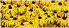 171124-1 (sz227) Tags: sonnenhut blumentag blume blüte blumen flowers sz227 zackl botanischergartenrostock botanischergarten sony sonyslt58