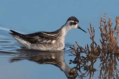 Red-necked Phalarope-167 (davidgardiner8) Tags: birds kent pegwellbay redneckedphalarope waders