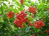 Bright (Lexie's Mum) Tags: continuing30dayswild walking walks walkingthedog nature wildlife scenery floraandfauna berries red