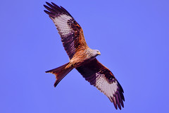 red kite in the morning (I was blind now I see!) Tags: red kite bird birding birds birdphotography birdinflight birdofprey sky nature wings beak