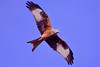 red kite in the morning (Paul Wrights Reserved) Tags: red kite bird birding birds birdphotography birdinflight birdofprey sky nature wings beak