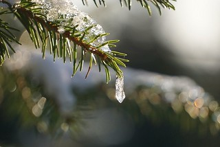 Spruce with ice crystals
