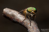 (rpm pictures) Tags: 2017 animals arthropods august bugs canon compoundeyes edwinbforsythe explore flies forsythe greenhead insects kenko macro nature newjersey nj outdoors parks refuge rpm rpmphoto rpmphotography rpmpictures ryanpaulmarchese ryanpaulmarchesephotography smithville summer wildlife wildliferefuge