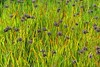 plants carex looks like van gogh Patsy Pond Trl Croatan NF ncwetlands AM (7) (ncwetlands.org) Tags: croatan sinkhole pond coastalfederation northcarolina ncwetland ncwetlands northcarolinawetland northcarolinawetlands