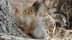 Red squirrel (eerokiuru) Tags: redsquirrel sciurusvulgaris orav