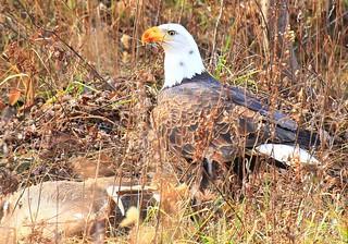 bald eagle eating white-tailed deer buck along Prairie Farmer Trail IA 854A8972