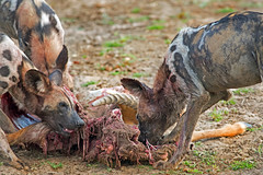 SH7A3983 2_edited-2 (paulafrenchp) Tags: wilddogs painteddogs feeding kill antelope hungry hunting camnine carnivore nature natural gruesome southluangwa nationalpark reserve safari conservation gaedrive sighting amazing onceinalifetime death sad eating