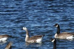Hybrid Goose (jlcummins - Washington State) Tags: bird bentoncounty kennewick washingtonstate waterfowl wildlife fauna geese hybridgoose canadageese