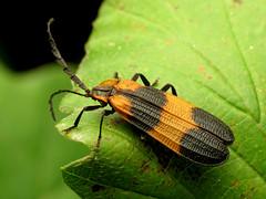 Lycid Beetle (treegrow) Tags: washingtondc rockcreekpark lifeonearth nature raynoxdcr250 arthropoda insect beetle coleoptera lycidae calopteronreticulatum taxonomy:binomial=calopteronreticulatum