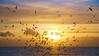 Gullfest (redmanian) Tags: gulls seagulls scavengers birds sunset sea brighton ianredman