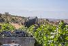 tenute_Lombardo_vini7 (walterlocascio) Tags: vendemmia sicilia sancataldo tenutelombardo reportagevendemmiasiciliana vinosiciliano viti vigne