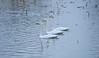 Landscape with Swans #5 (daniel0027) Tags: swans river ripple lotusstems reflection birds cygnuscygnus tundraswan snowydays sidebyside affectionately abreast white whooperswan