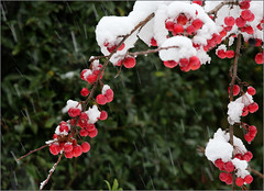 Crab Apples and falling snow (alanhitchcock49) Tags: crab apples snow falling redditch december 2017 winter red