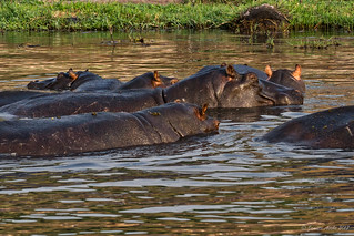 Hippos - I can see you!