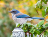 Natures own Weather Vain. (Omygodtom) Tags: wild wildlife scrubjay bird bokeh green blue silver outdoors outside oregon contrast composition colorful color colours nikkor natural nature nikon dof d7100 digital nikon70300mmvrlens senery scene scenic asia