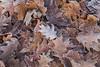 Frozen! (karindebruin) Tags: bladeren leaves herfst autumn frozen frost bevroren vorst