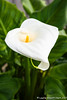20171117Calla Lily Love5380-Edit-2 (Laurie2123) Tags: calla callalily laurieabbottturner laurieturner laurieturnerphotography laurie2123 nikond800e backyard flower home macro nikkor