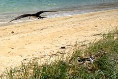 LHID 212 (newnumenor) Tags: australia lordhoweisland nsw wildlife